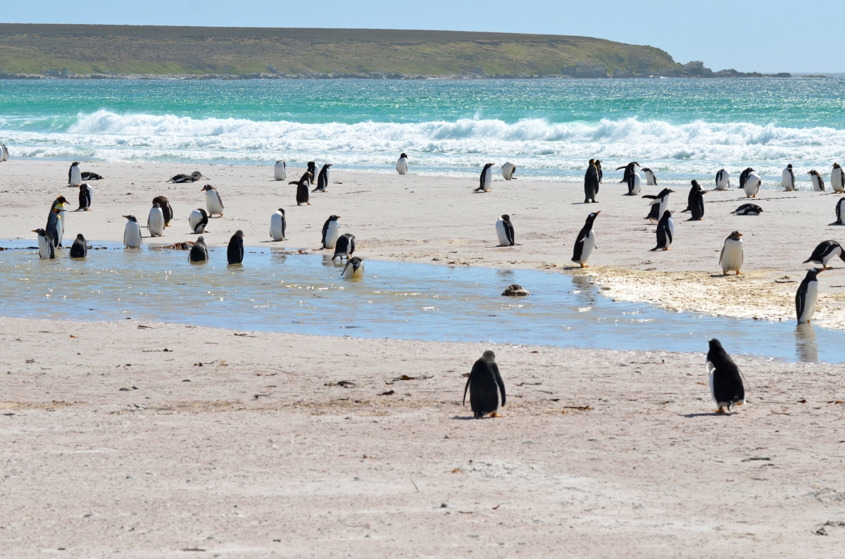 Penguins on the Falkland Islands