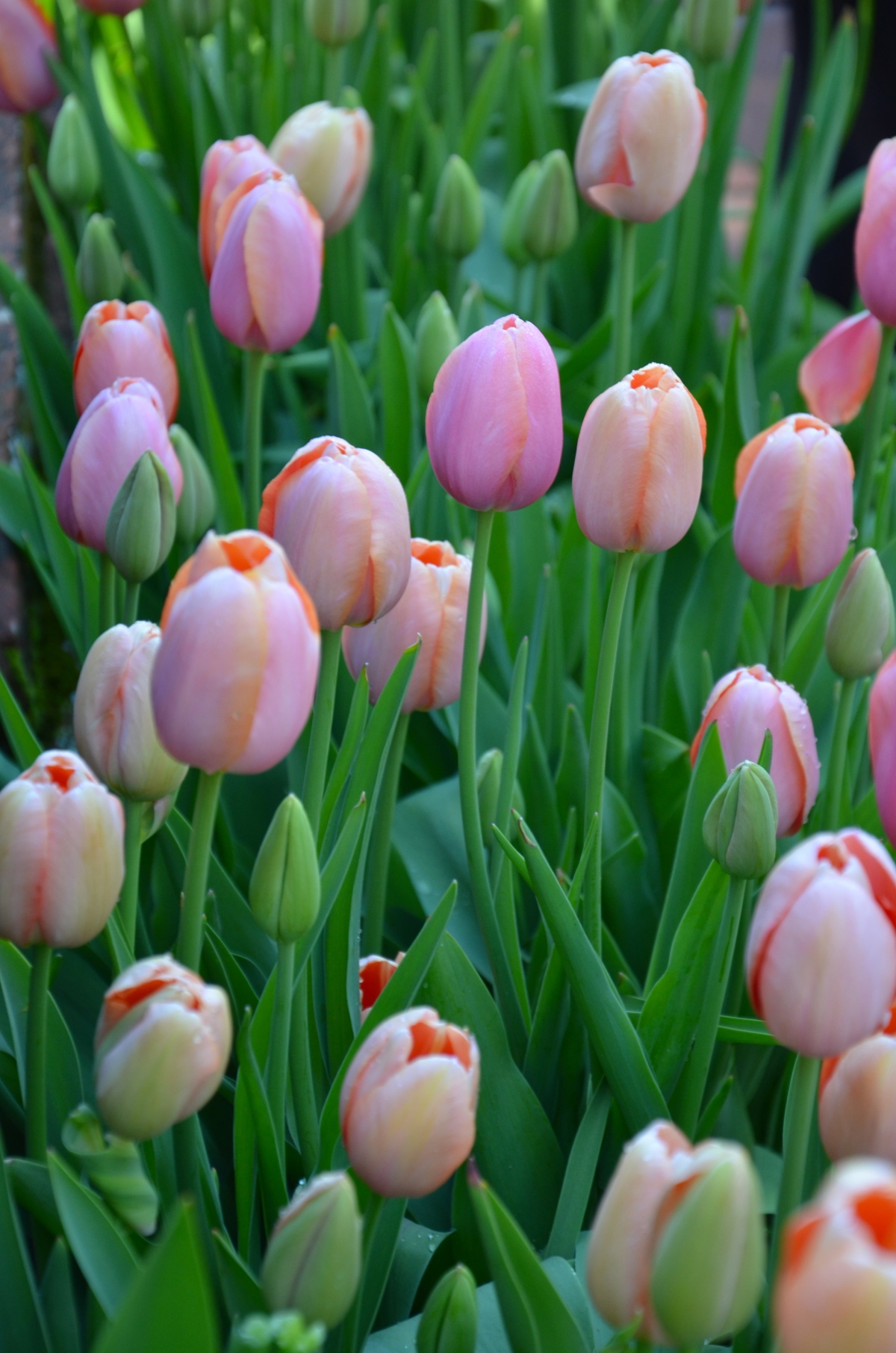 Tulip time at Filoli in Woodside, California